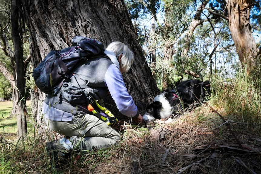 """A dog's owner squats down to congratulate her border collie after its located a test """"scat""""."""