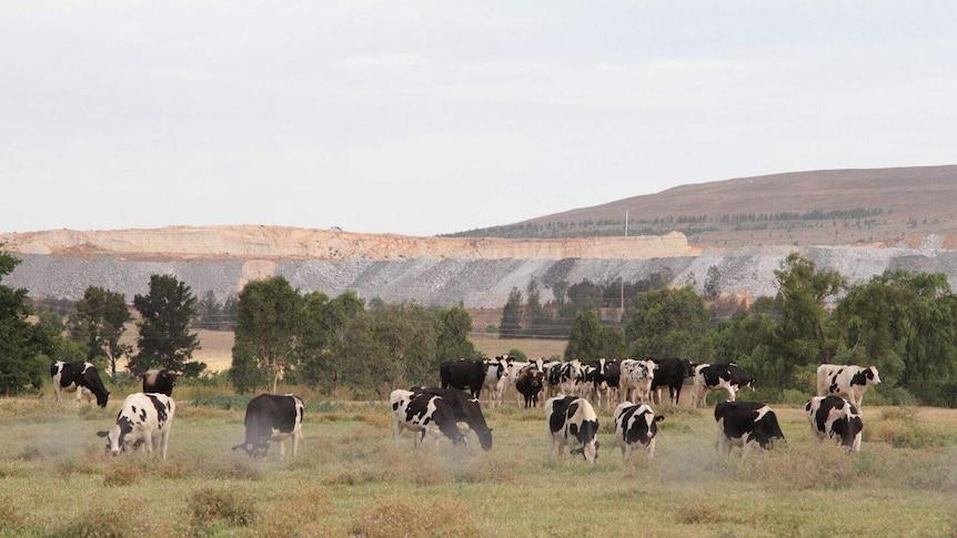 Cattle graze in front of the Mount Arthur mine