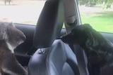 Man struggles to remove stubborn koala from car