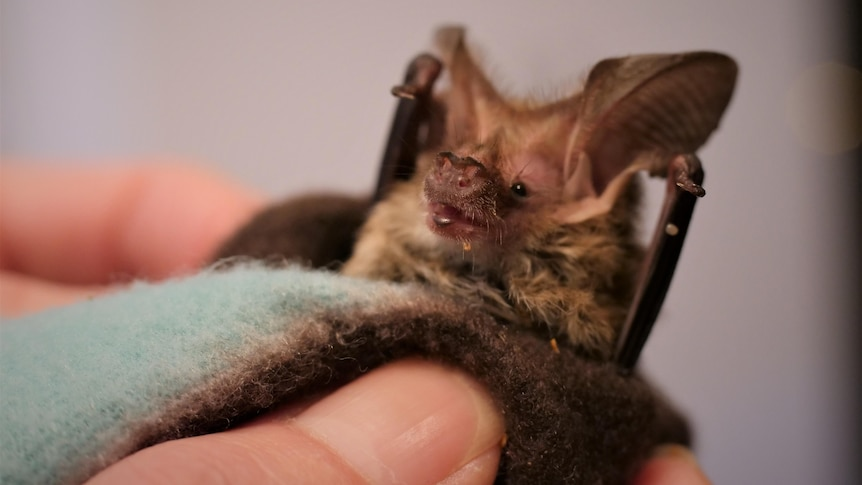A microbat with large ears wrapped in a blanket in a woman's hand.