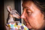A woman holds a young agile wallaby joey wrapped in a baby's sheet up to her nose.