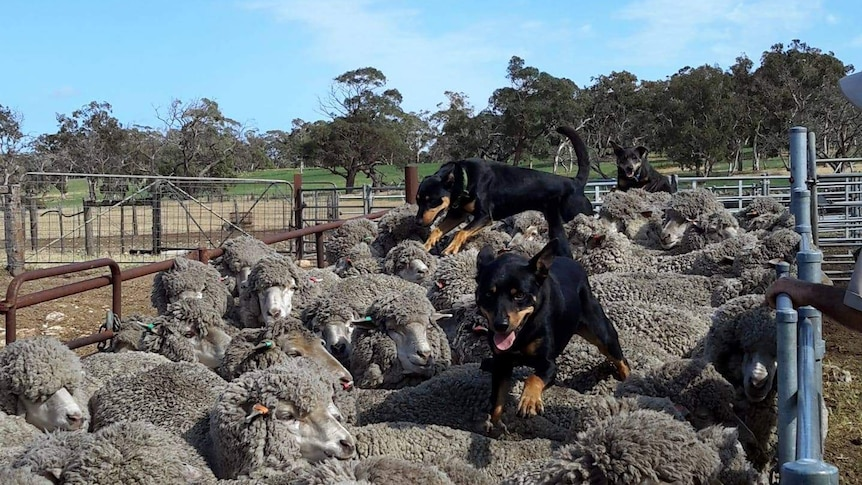 Kelpies race over the back of yarded-up sheep