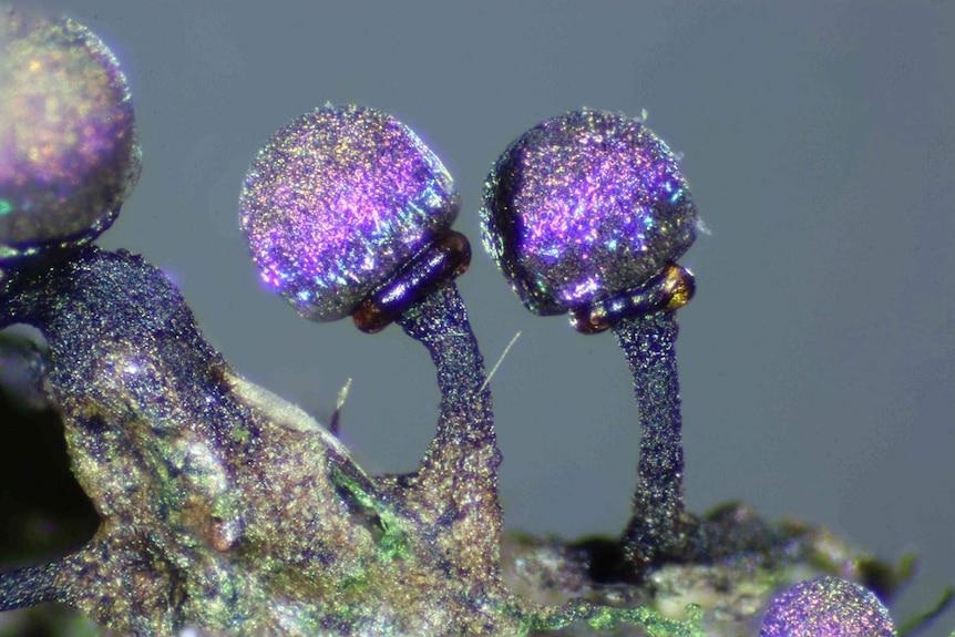 Elaeomyxa cerifera, microscopic organism.Elaeomyxa cerifera, microscopic organism.