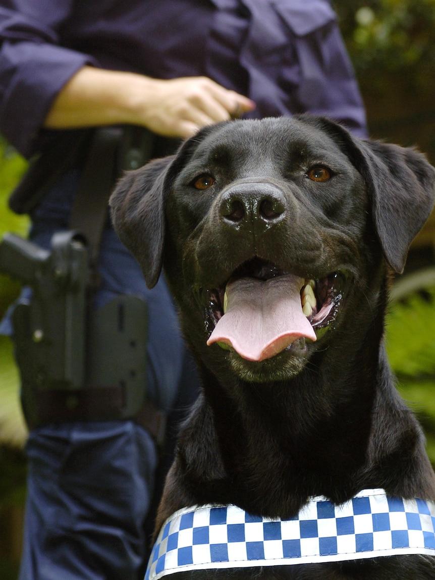 A police officer stands behind a Labrador sniffer dog
