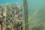 Composite picture of Great Barrier Reef off Double Cone Island, on left reef is healthy in 2014, on right reef is murky in 2017.