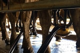 Dairy cows being milked in Western Australia's south west