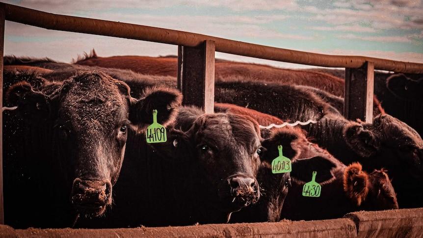Cattle in a yard.