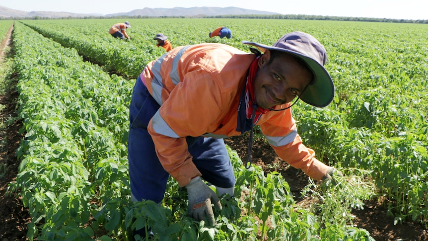 A man tends to vegetables in a field.