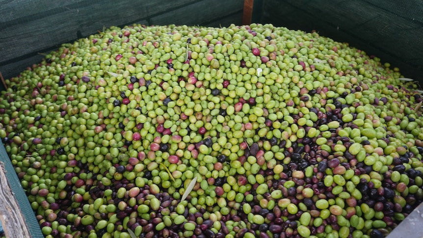 A large bin of mixed green and black olives sits ready to be pressed and their oil extracted