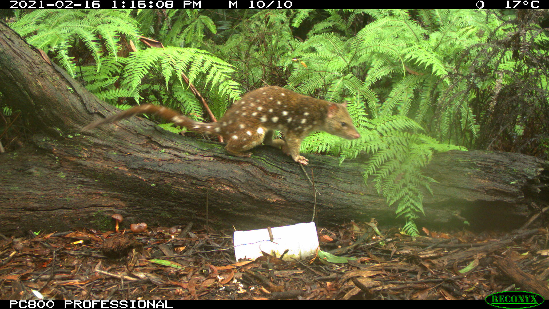 A quoll caught on camera.