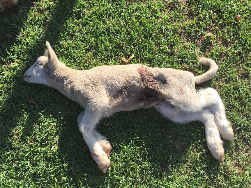 A lamb killed by a wild dog