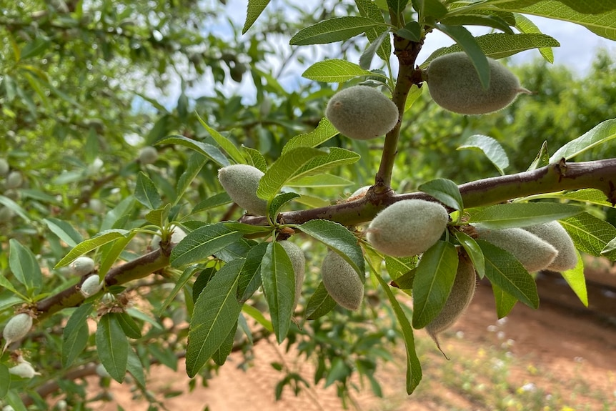 Green ripening almond nuts on a tree branch.