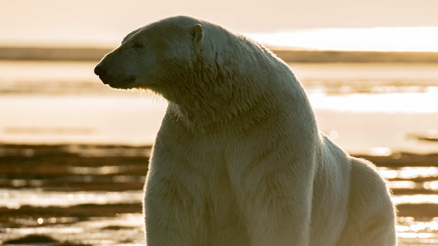 Large polar bear in front of soft sunset in background.