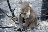 A koala singed by fire sits by the side of the road.
