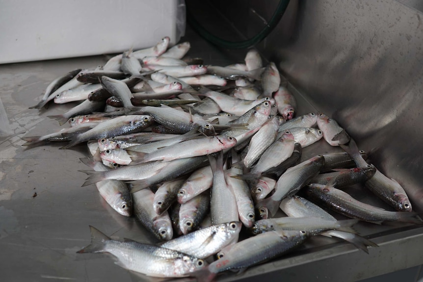 fish on processing table