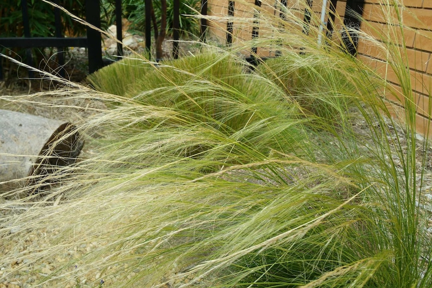 The Mexican Feather Grass weed