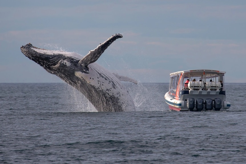 A whale breaching next to a boatload of whale watchers.