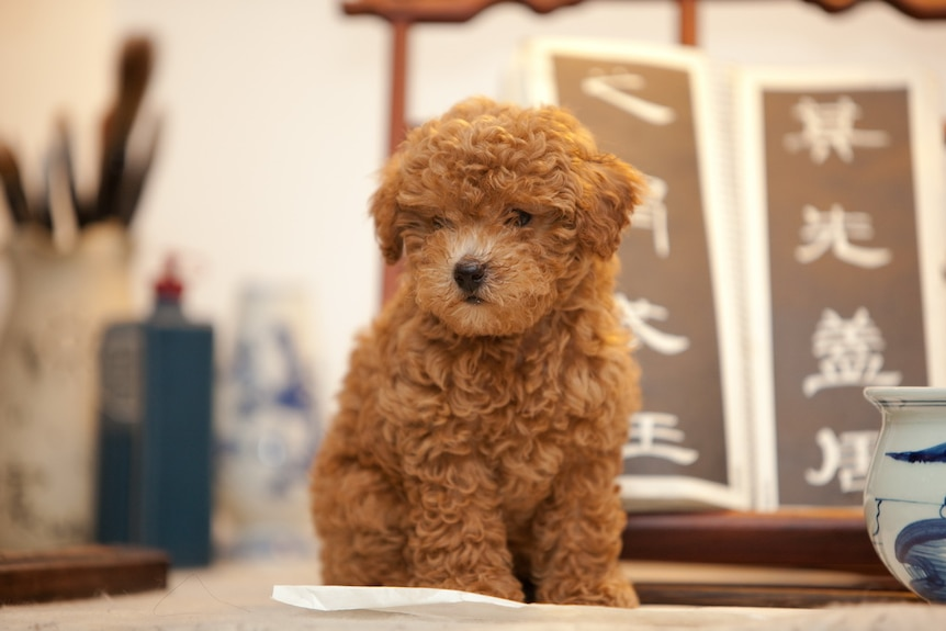 A Cavoodle puppy sits on a table.
