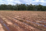 Rotting melons on Roger Boshammer's farm near Chinchilla