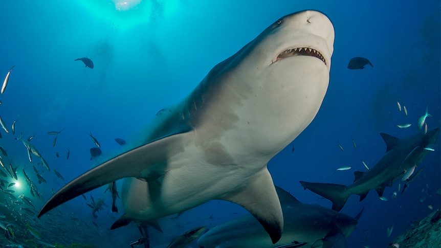 Bull shark swims over the top of a diver