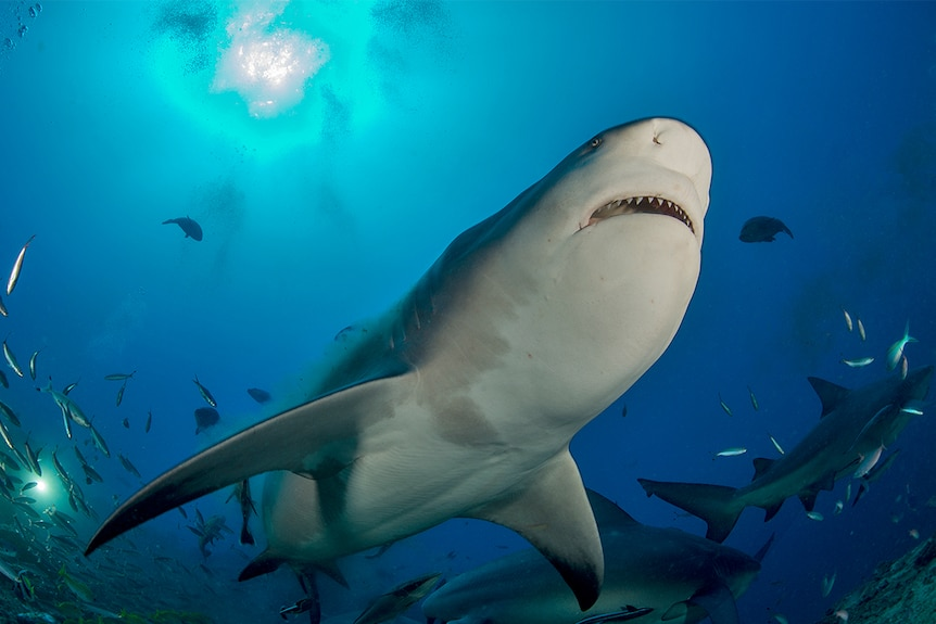 A shark, as seen from below, swimming in the ocean.