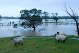 Sheep avoid floodwaters beside a large river.