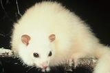 A white possum sits on a branch