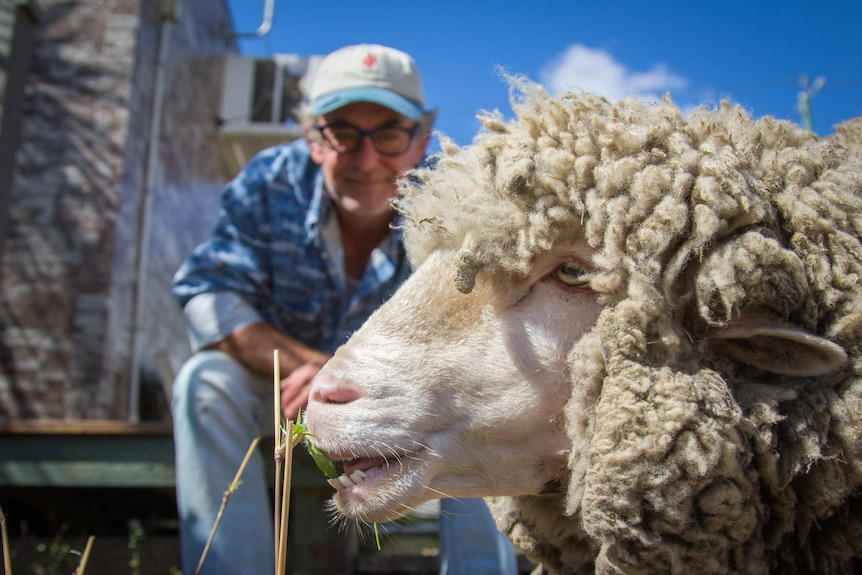 John Pollard sits with his backyard sheep nibbles.