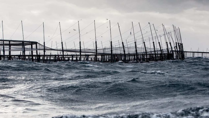 Salmon farm enclosures in Tasmanian waters, owned by Huon Aquaculture.