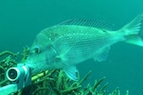 Snapped: Pink Snapper