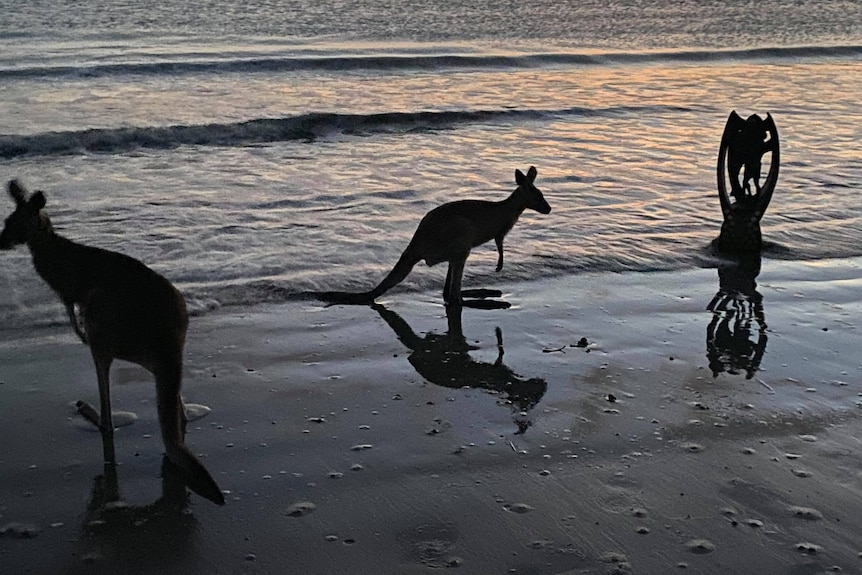 Kangaroos on the beach, with the NRL trophy sitting in the ocean.