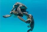 Sea turtles mating underwater.