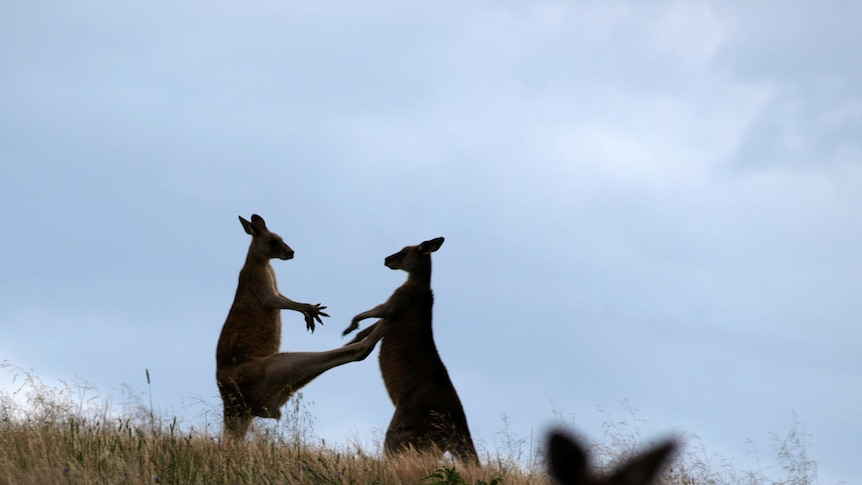 Kangaroos boxing each other