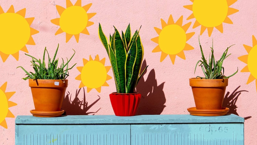 Two aloe vera plants and a snake plant on a shelf against a pink concrete wall with suns, finding the best light for plants.