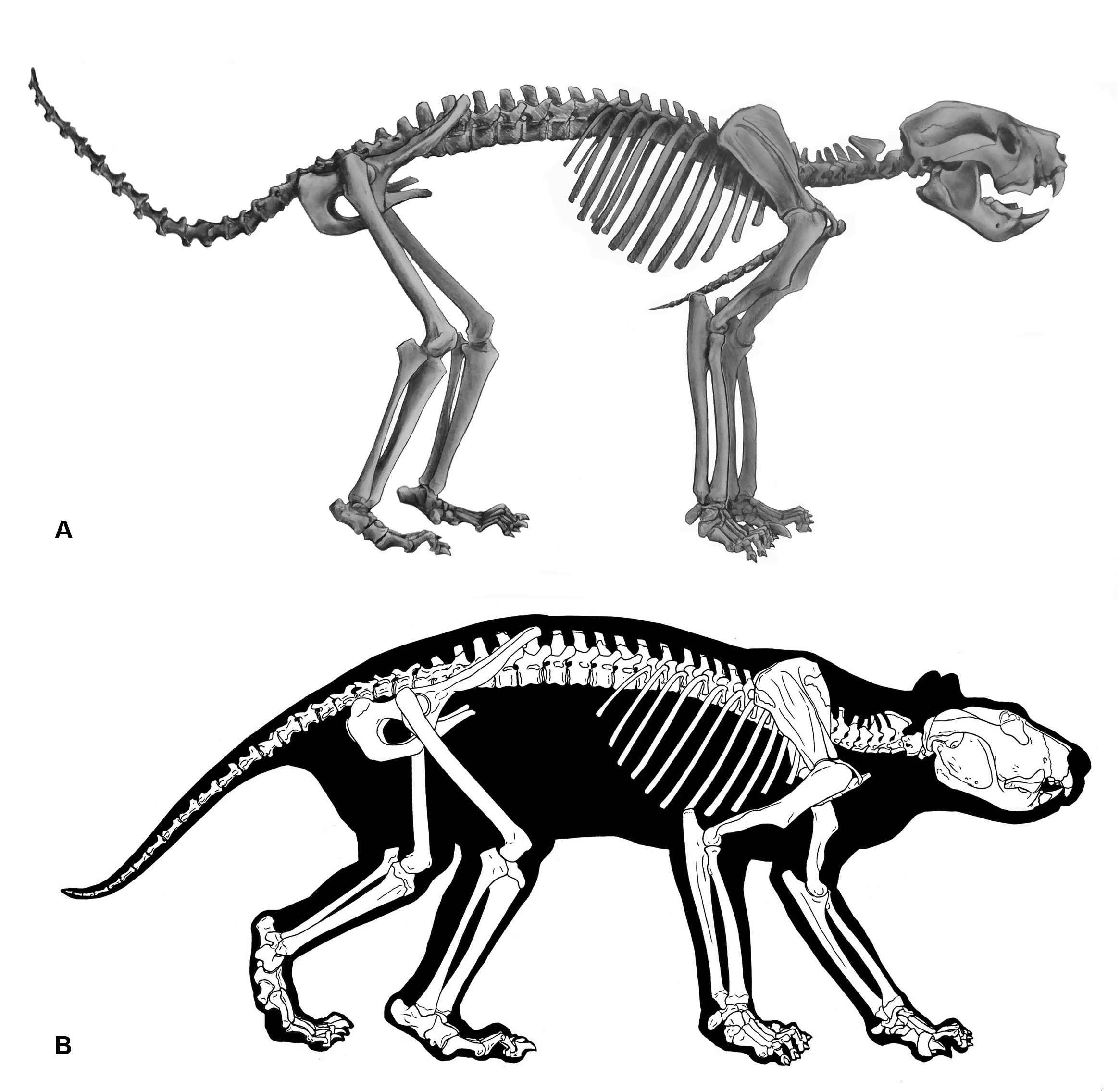 Two skeletons showing tail erect.