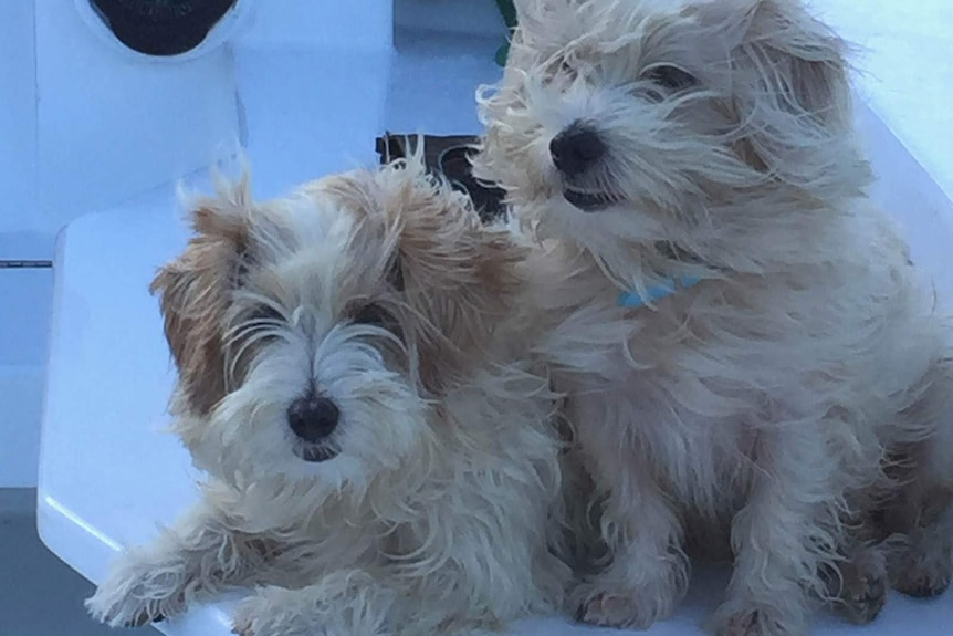 Two long-haired dogs on the deck of a boat