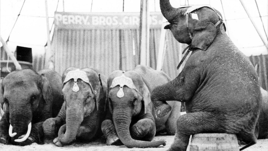 An old black and white photograph of elephants performing in a circus tent.