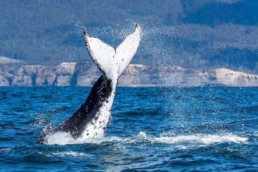 A humpback whale lifts its tail out of the water.