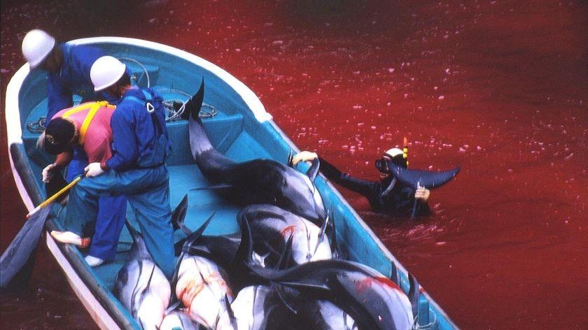 Japanese fishermen take part in the dolphin hunt in Taiji harbor.