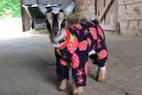 A baby goat wearing pyjamas.