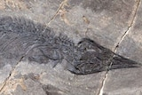 A fossil of a marine reptile is imprinted on a rocky surface.