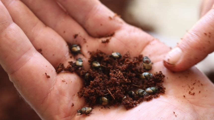 About a dozen dung beetles are held in a person's hand