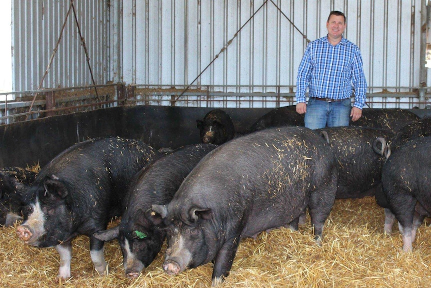 A man stands behind a group of large black Berkshire pigs
