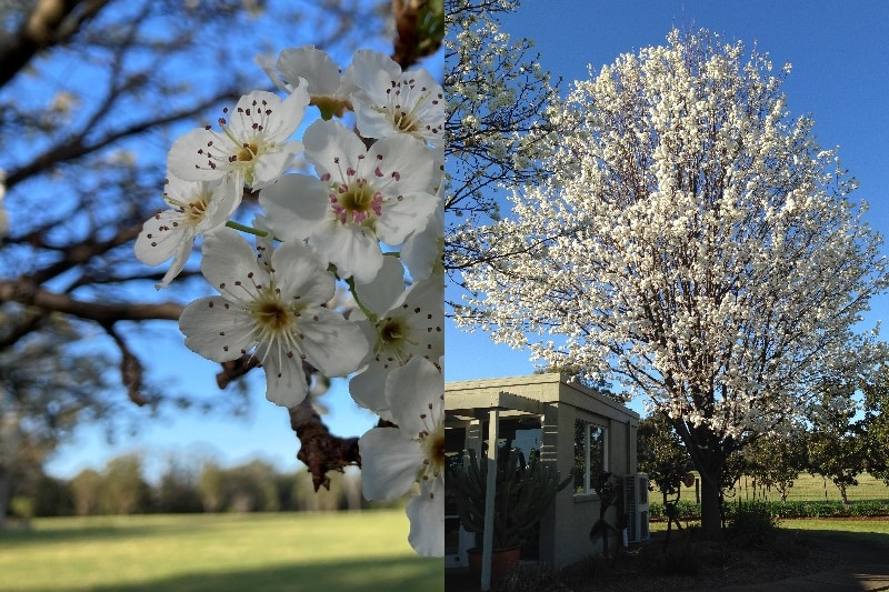 composite photo showing a manchurian pear tree with its white flowers