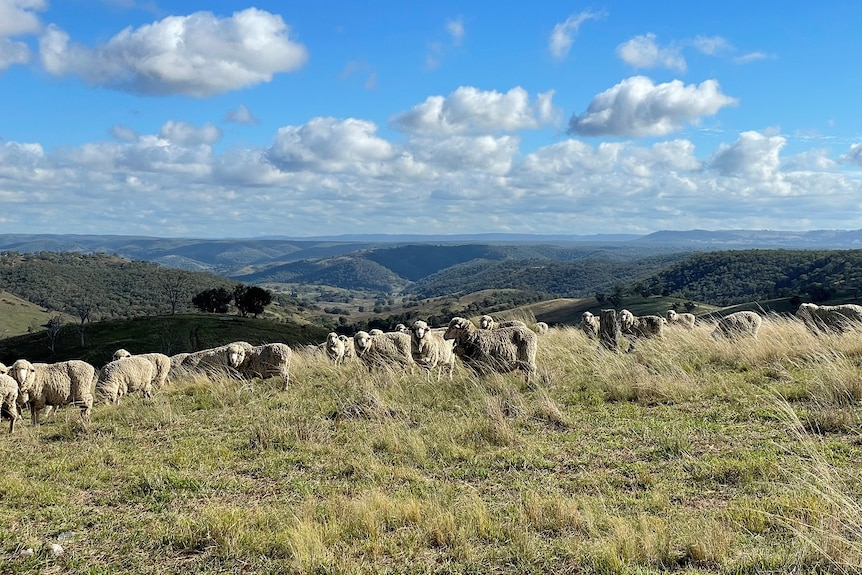 A group of sheep stand on the top of a hill, with a cleared valley and forested hills in the background, and fluffy white clouds