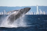 A humpback whale breaches of the Gold Coast.