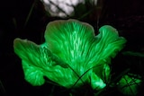 A mushroom shaped like a curled lettuce leaf glows green in the dark at the base of a tree.