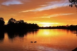 The underside of clouds reflect the yellow light of sunset onto the Murray River as several ducks swim past.