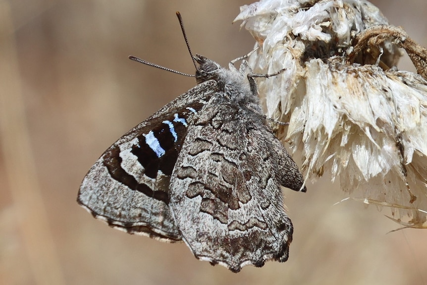 An Arid Bronze Azure Butterfly rests on some vegetation. It is a mostly grey butterfly but has flecks of blue on its wings