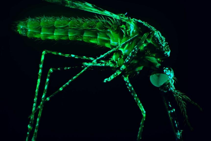 Close-up of a malaria mosquito